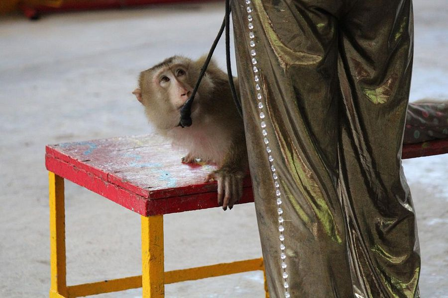 Can Gio Reserve Shuts Down Cruel Monkey Circus Following International Outcry