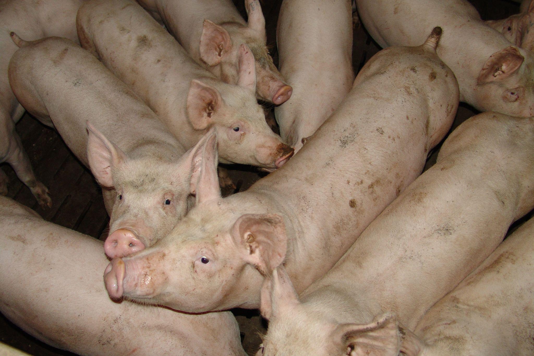 Vietnam's Pig Farmers Hit as Consumers Shun Pork Due to Swine Fever