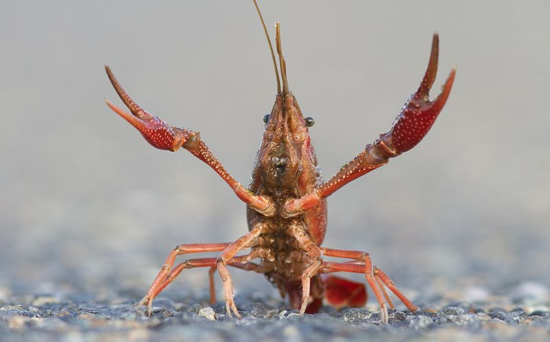 Vietnam's New Love for Crayfish Might Lead to Ecological Disaster